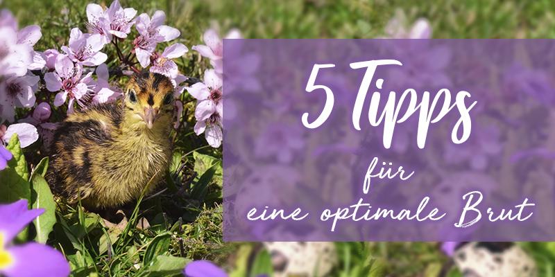 Frühlingsgefühle und Kükenpiepsen – 5 Tipps für eine optimale Brut